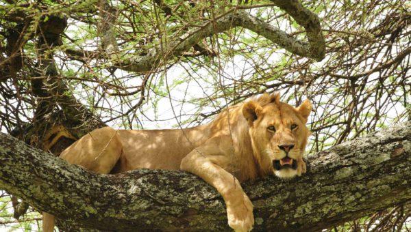 manyara-lion-1-1024x680
