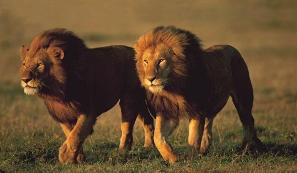 serengeti-lions2
